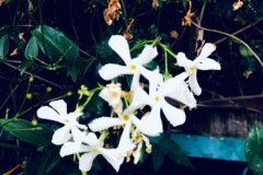 Jasmine (altered digital photo)